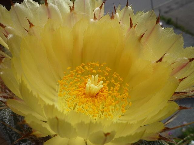 Astrophytum-Blüte