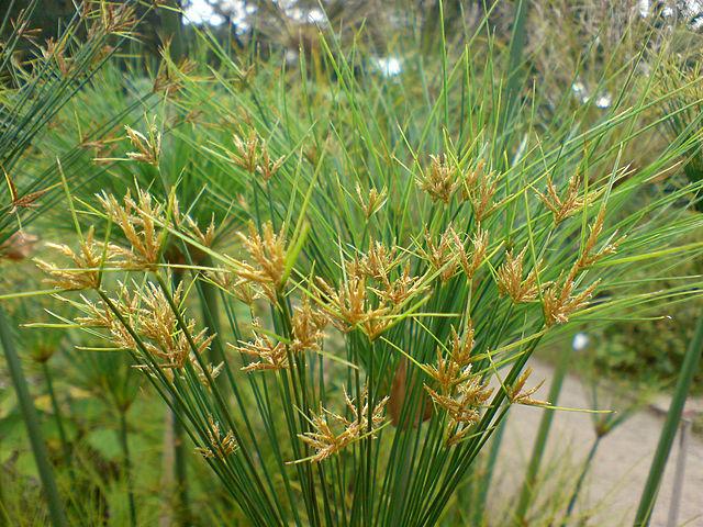 Cyperus_papyrus_(Papyrus-Staude)