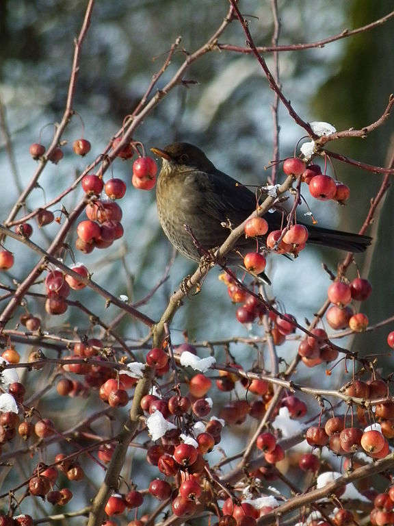 Vogel_mit_Früchten