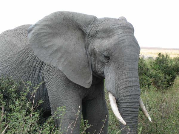 Elefant_Tanzània