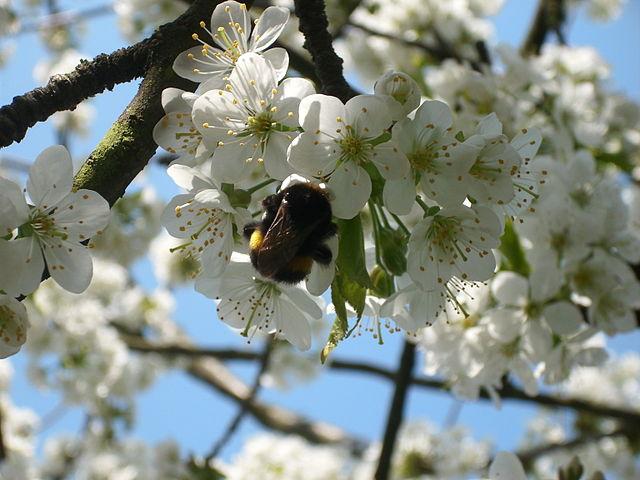 Kirschblüte_mit_Hummel