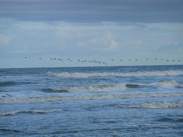 Nordsee_Vogelzug