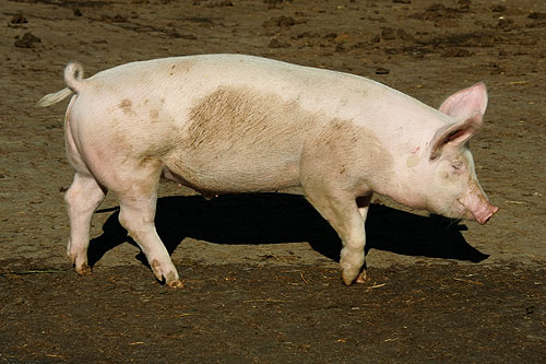 Schwein_in_Le_Prese (1)