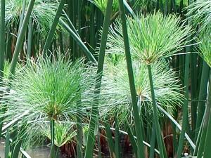 Papyrus Pflanze